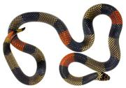 Stock Photo of amazonian coral snake (micrurus spixii obscurus). a venomous snake from the e