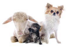 young lamb, kitten and chihuahua - stock photo