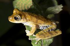 gunther's banded treefrog (hypsiboas fasciatus) - stock photo