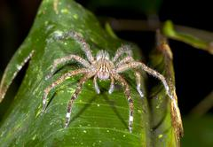 Venomous wandering spider (phoneutria sp.) looking at the camera, ecuador Stock Photos