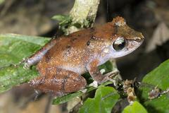 rain frog (pristimantis ockendeni) a small frog common in the rainforest unde - stock photo