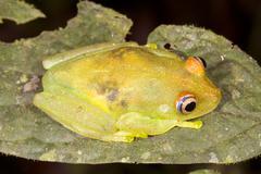 Rough skinned green treefrog (hypsiboas cinerascens) in the ecuadorian amazon Stock Photos