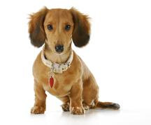 Dog wearing collar and tag Stock Photos