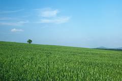 Green corn - stock photo