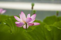 A beautiful lotus Stock Photos