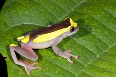 Female upper amazon treefrog (dendropsophus bifurcus), ecuador Stock Photos