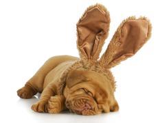 Dog wearing bunny ears Stock Photos