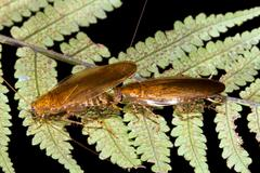 cockroaches courtship behaviour. in the rainforest understory, ecuador - stock photo