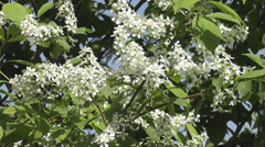 Bird-cherry tree Stock Footage
