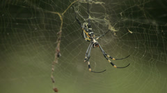 Banana Spider Stock Footage