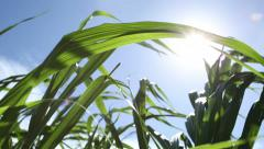 Sugar Cane Sustainable Energy Crop, Maui Stock Footage