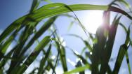 Stock Video Footage of Sugar Cane Sustainable Energy Crop, Maui