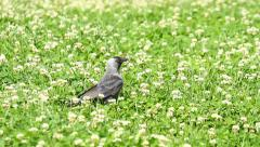 Jackdaw bird Stock Footage