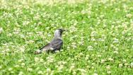 Stock Video Footage of Jackdaw bird