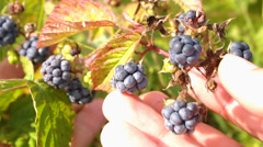 Dewberry Stock Footage