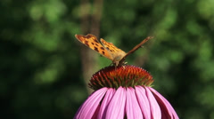 Comma butterfly (Polygonia c-album) on Purple coneflowerclose up + eye level Stock Footage