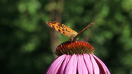 Stock Video Footage of Comma butterfly (Polygonia c-album) on Purple coneflowerclose up + eye level