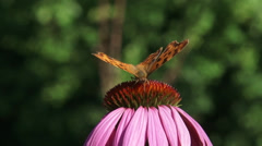 Comma butterfly (Polygonia c-album)  echinacea purpurea - eye level + close up Stock Footage