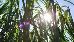 Sugar Cane Sustainable Energy Crop, Maui - stock footage