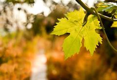 grape vine by a path in a garden - stock photo