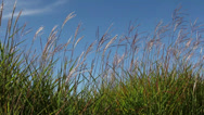 Stock Video Footage of Tall Ornamental Grass with Plume Swaying against Clear Blue Sky on a Breezy Day