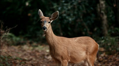 Deer in the forest close look - stock footage