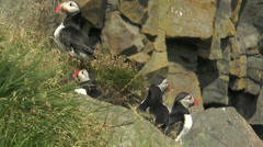 Stock Video Footage of group of atlantic puffins in Iceland closeup