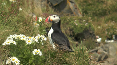 Atlantic Puffin closeup Stock Footage