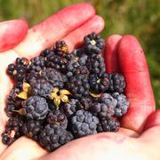 dewberry - stock photo