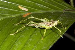 green spiky bush cricket in the rainforest understory, ecuador - stock photo