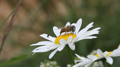 Hoverfly insect on flower harvesting pollen, Syrphus opinator Stock Footage