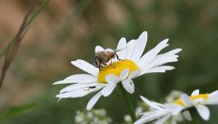 Hoverfly insect, Syrphus opinator Stock Footage