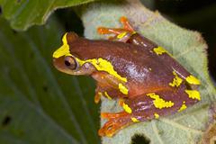 Sarayacu treefrog (dendropsophus sarayacuensis) Stock Photos