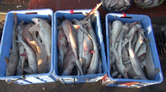 dead sharks in box - Dubai fish market,shark finning - stock footage