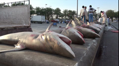 lot of dead sharks - Dubai fish market, shark finning - stock footage