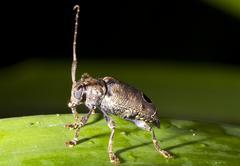 Longhorn beetle ( family cerambycidae) on a leaf in rainforest understory, ec Stock Photos