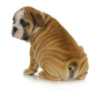 Wrinkly puppy Stock Photos