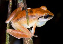 Peruvian rain frog (pristimantis peruvianus) calling male with inflated vocal Stock Photos