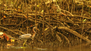 Stock Video Footage of Reddish Egret in Costa Rican Mangrove Estuary HD Video