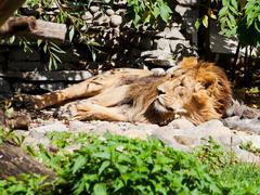 Asiatic lion Stock Photos