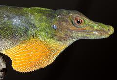 Giant spotted anole (anolis punctata), ecuador Stock Photos