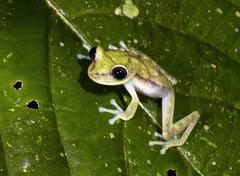 Nymph treefrog (hypsiboas nympha) on a leaf in the rainforest understory, ecu Stock Photos