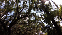 Trees, dolly in, WS, sun filtering through  Live Oak Tree canopy, Spanish Moss Stock Footage