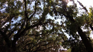 Stock Video Footage of dolly in, low  WS, sun filtering through  Live Oak Tree canopy, Spanish Moss