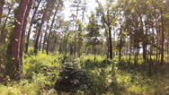 Stock Video Footage of tracking shot, Upland pine forrest with some hardwoods