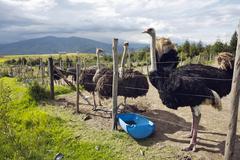 Stock Photo of ostrich farm in the andes near quito, ecuador