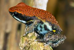 Stock Photo of ecuadorian poison frog (ameerega bilinguis), ecuador