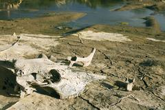 animal skull and bones by a drying reservoir - stock photo