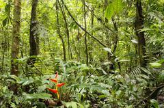 Heliconia plant flowering in the rainforest, ecuador Stock Photos