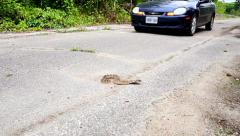Endangered Hog-nosed Snake is nearly run over by a passing automobile. Stock Footage